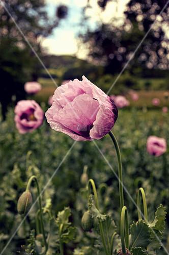 Flower Of Opium Poppy