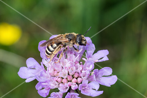 Wild Bee at flower, Halictus sp., Bavaria, Germany