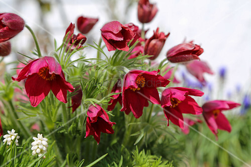 Red pasqueflower
