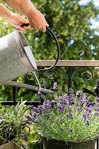 Potted lavender on balcony being watered with metal watering can