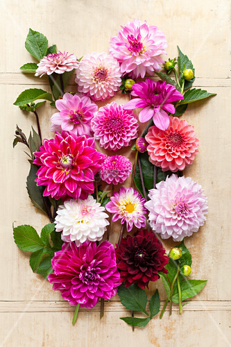 Tableau of dahlia flowers