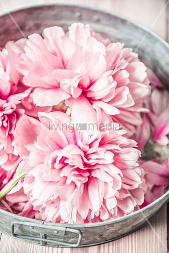 Pfingstrosenblüten auf Zinktablett