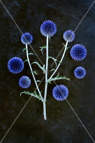 Blüten der Kugeldistel als Legebild auf dunklem Untergrund