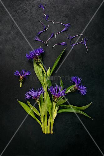 Blüten von Bergflockenblume auf dunklem Untergrund