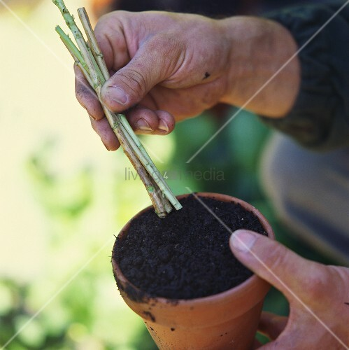 Planting cuttings into a terracotta pot of compost