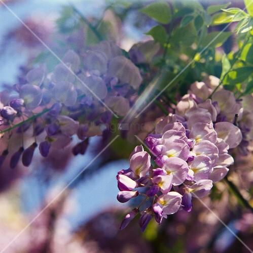 Blüten eines Blauregens (auch: Glyzinie, Wisteria sinensis)