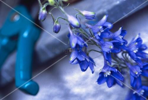 Hellblaue Ritterspornblüten