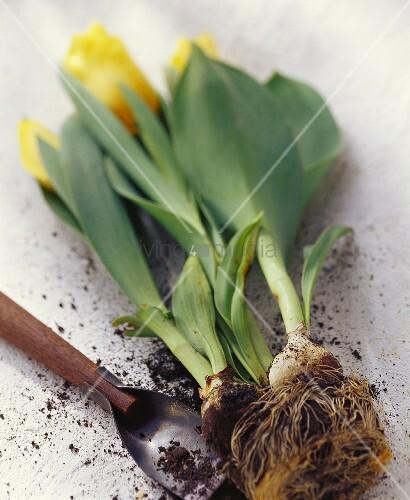 Gelbe Tulpen mit Zwiebel & Schaufel
