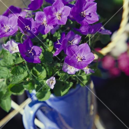 Glockenblume mit blauen Blüten