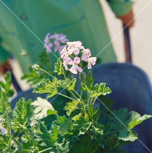 Duftpelargonie, eine schöne Kübelpflanze