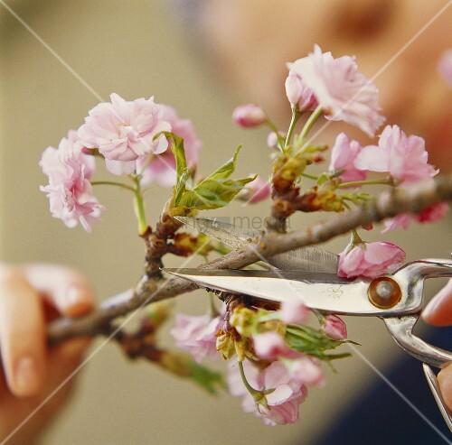 Zweig der japanischen Zierkirsche mit Blüten