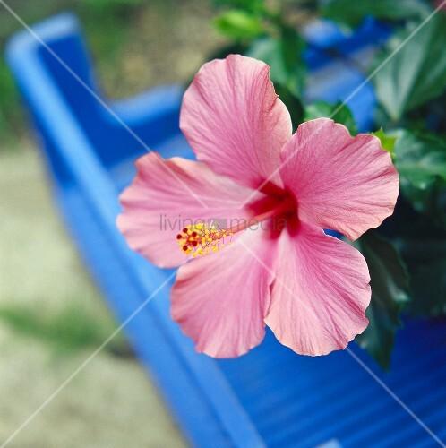 Hibiskusblüte in der Nahaufnahme (lat.Hibiskus rosa-sinensis)