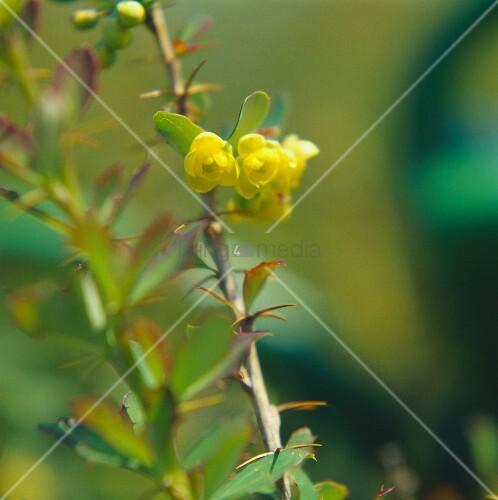 Berberitzenzweig mit gelben Blüten