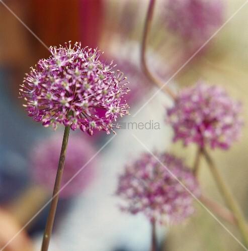 Blühender Riesenlauch (lat. Allium giganteum)