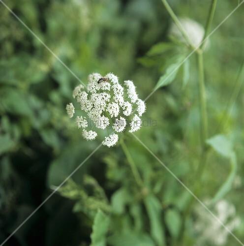 Baldrianpflanze mit Blüten (darauf eine Biene) im Freien