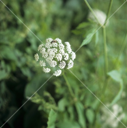 Valerian plant with flowers (with a bee) in the open air