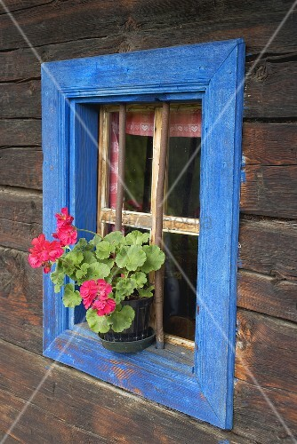 Pelargonien am blau umrahmten Fenster eines alten Blockhauses