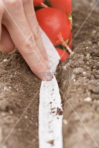 Saatband mit Radieschensamen in die Erde legen