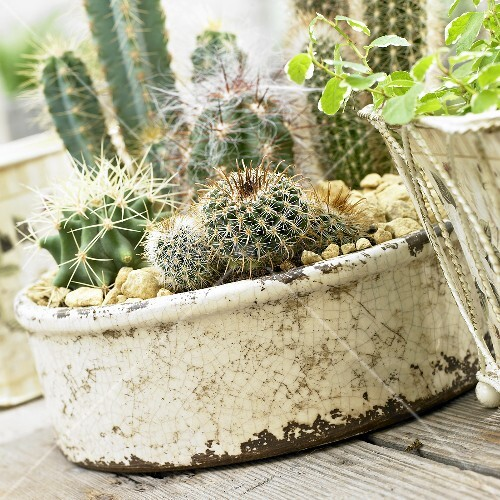 Various cacti in a planter