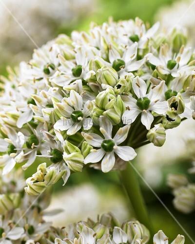 Flowering black garlic (Allium nigrum (multibulbosum))