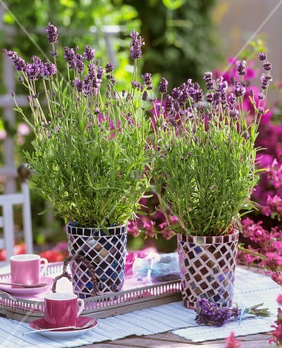 Two mosaic pots of lavender