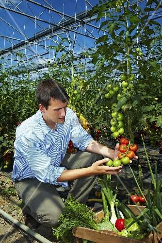 landwirt im gew chshaus erntet tomaten bild kaufen living4media. Black Bedroom Furniture Sets. Home Design Ideas