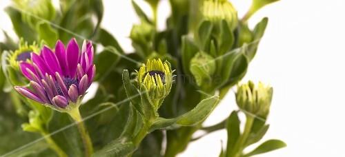 Flowering Cape daisies