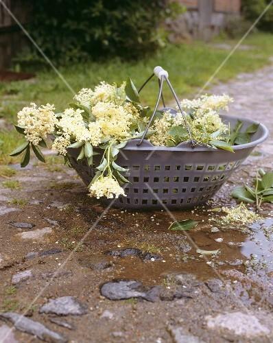 Frische Holunderblüten im Korb