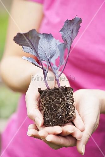 Hands holding a kohlrabi seedling