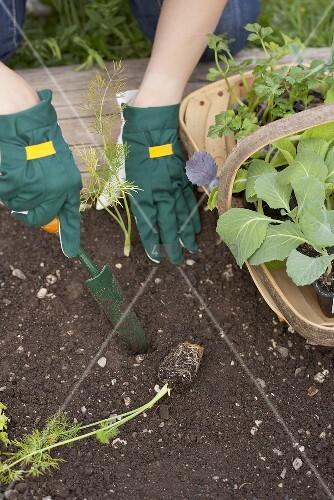 Fenchel ins Gemüsebeet pflanzen