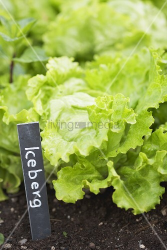 Iceberg lettuce in a flower bed