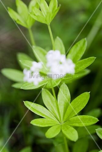 Fresh wooderuff with flowers