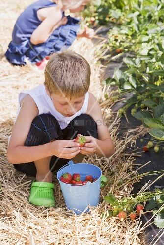 Kinder pflücken Erdbeeren im Erdbeerfeld