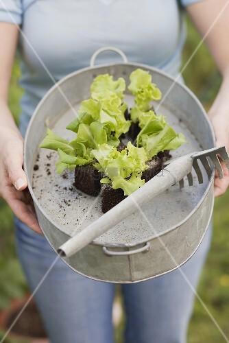 Frau hält Zinkwanne mit Salatpflanzen und Rechen