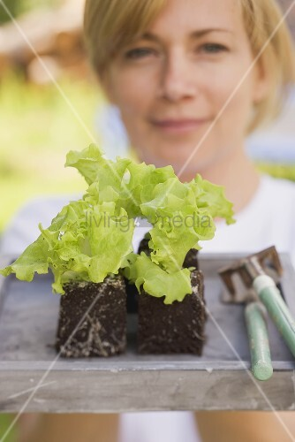 A woman holding lettuce plants and garden tools