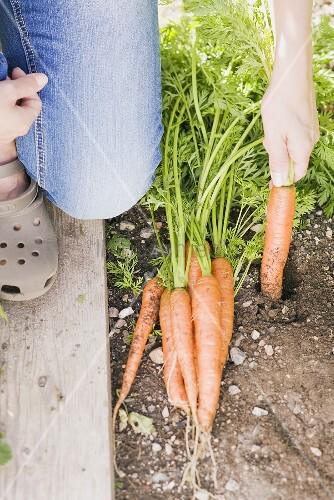A woman harvesting carrots in a garden