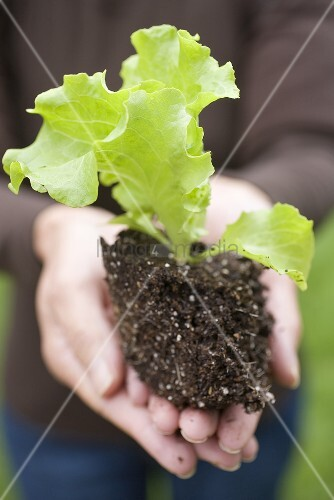 A young lettuce plant in someone's hands