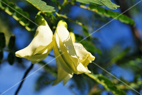 Thai sesbania flowers (Sesbania grandiflora)