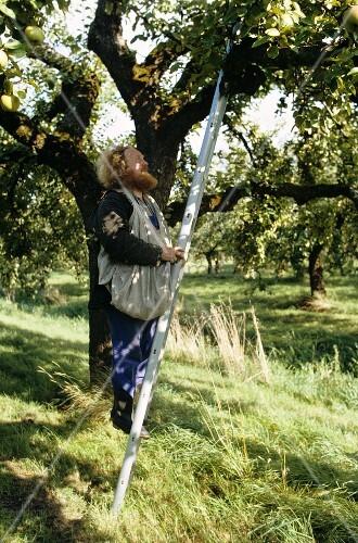 Mann steigt auf die Leiter bei der Apfelernte