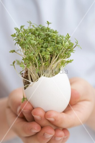 Child holding eggshell with cress growing in it