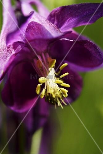 Aquilegia with violet blossom (close up)