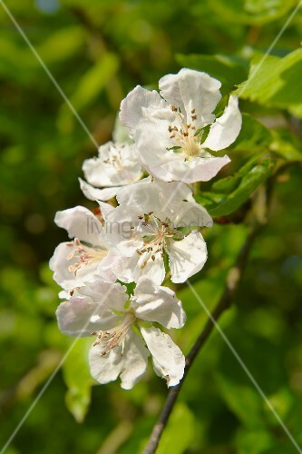 Apple blossom on a branch