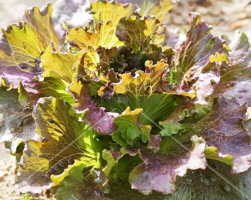 Organic Red Leaf Lettuce; in Garden