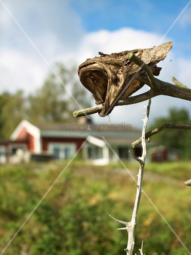 A dried fish head on a stick
