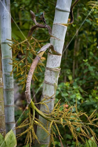 A bamboo stem with a bent branch