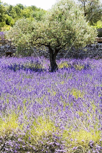 Olive trees in a sea of flowering lavender