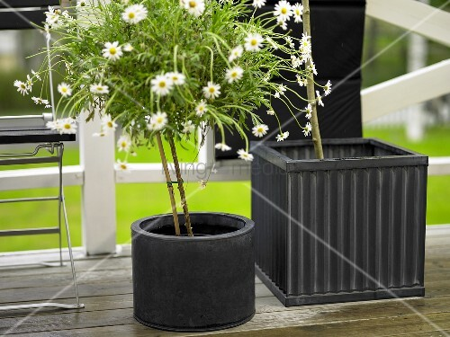 Daisy in a black cylindrical pot next to a square plant pot